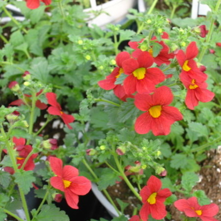 """Sumpplante """"Mimulus Bonfire Red"""""""
