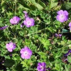 """Sumpplante """"Geranium palustris"""""""
