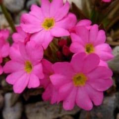 "Sumpplante ""Primula rosea"""