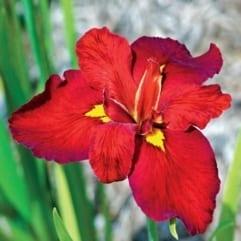 "Sumpplante ""Iris Ann Chowning"""