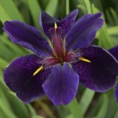 """Sumpplante """"Iris Black Gamecock"""""""