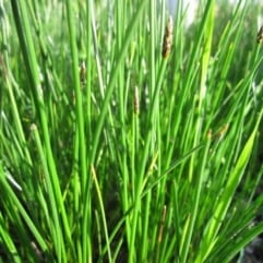"Sumpplante ""Eleocharis palustris"""