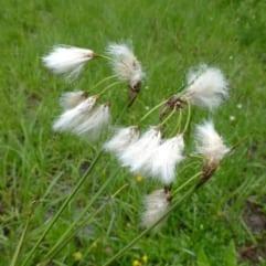 """Sumpplante """"Eriophorum angustifolium"""""""