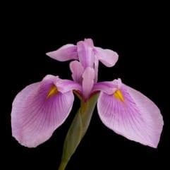"""Sumpplante """"Iris Laevigata Rose"""""""