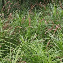 """Sumpplante """"Carex muskingumensis"""""""