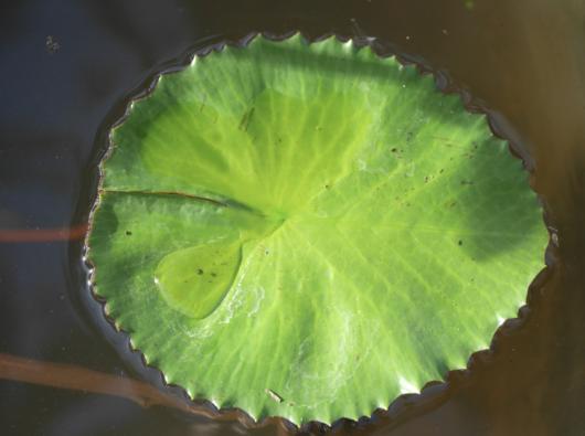 Vannlilje - Lemon Mist