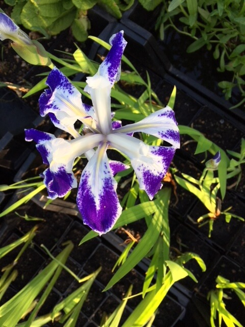 Sumpplante - Iris Laevigata Mottled Beauty