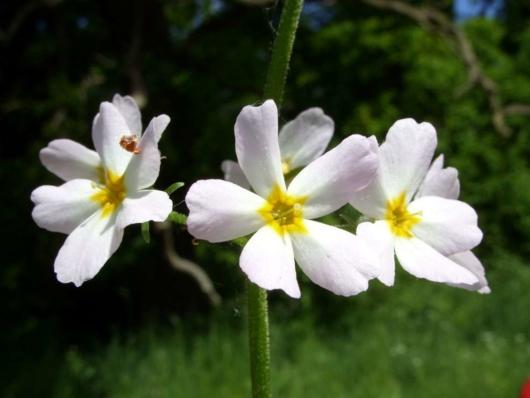Sumpplante - Hottonia Palustris