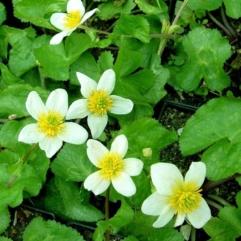 Sumpplante - Caltha Palustris Alba