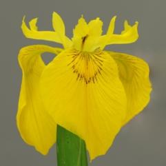 Sumpplante - Iris Pseudacorus