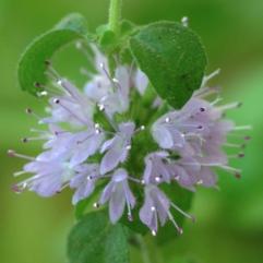 Sumpplante - Mentha Pulegium