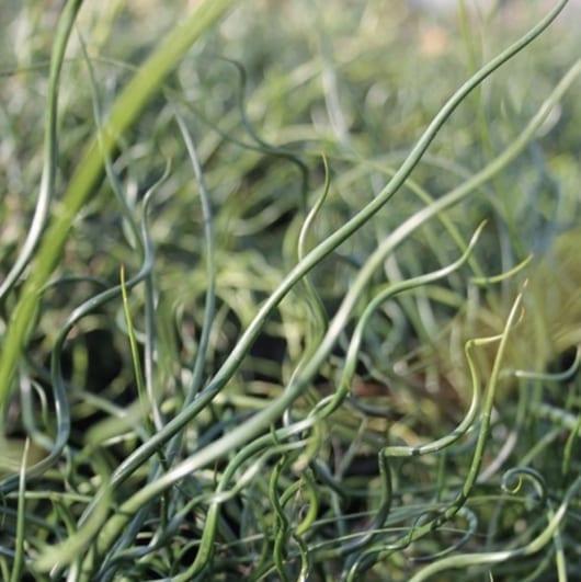 Juncus Effusus Spiralis -Sumpplante