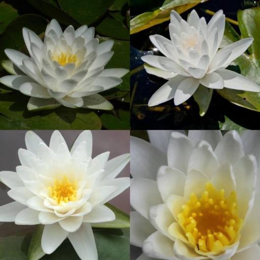 Vannlilje - Perrys Double White