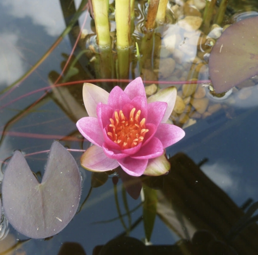 Vannlilje - Pygmaea Rubra