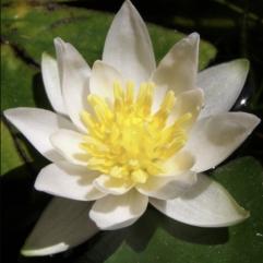 Vannlilje - Pygmaea Alba