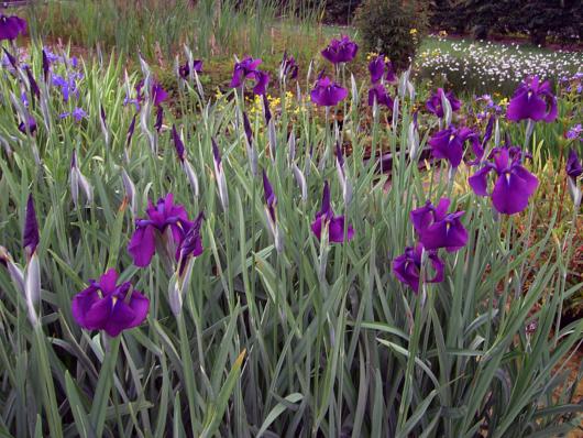 Iris kaempferi variegata